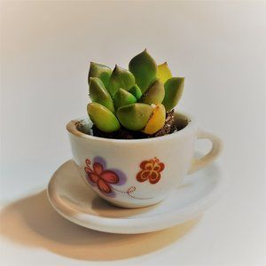 Other - Live Succulent in Tiny Teacup, Echeveria 2""